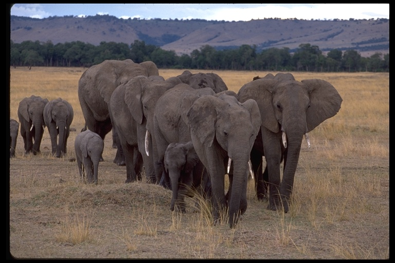 Image - Loxodonta africana. Gerald and Buff Corsi © California Academy of Sciences.